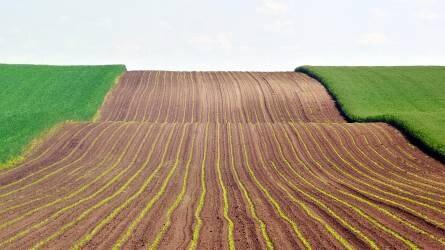 Vetik a kukoricát Zalában - eső kellene