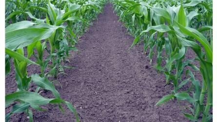 Összhangban a kukorica igényeivel
