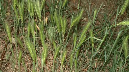Súlyos termésveszteségek okozója a parlagi ecsetpázsit