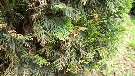 Örökké zölden – örökzöld növényeink gondozása és védelme hónapról hónapra III. rész