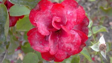 Mi köze van a rózsának a szőlőlisztharmathoz?