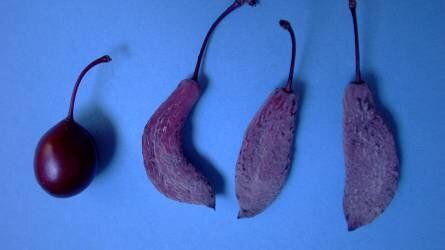 Furcsa képződmények a vérszilva fákon - mik ezek?