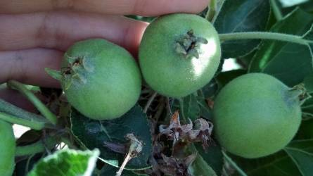 Az alma tápanyag-utánpótlása