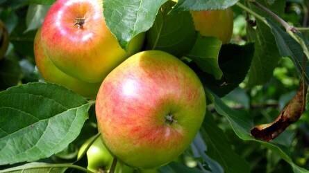Az alma gombás eredetű tárolási betegségei
