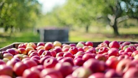 Gyümölcsösültetvény-összeírás: tarolt az alma és a meggy - feljövőben a bodza