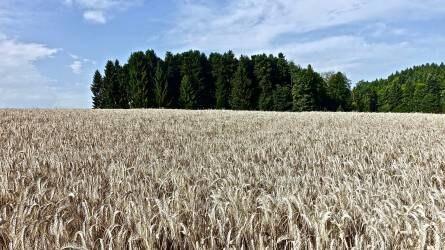 Új módszert dolgoztak ki a Debreceni Egyetemen a búzafajták értékelésére
