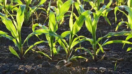 Agrometeorológia: 2-3 hét a természet előnye, de a kártevőké is