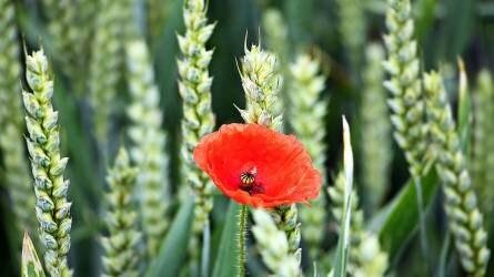 Agrometeorológia: országos áztató eső nem valószínű – terméskiesés lehet a következmény