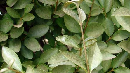Mitől lesz ezüstös elváltozás a fagyalsövényen?