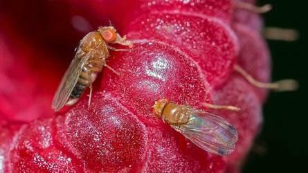 Hogyan védekezzünk a foltosszárnyú muslica ellen?