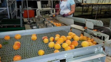 Átadták az új gyümölcsfeldolgozó üzemet Berkenyén