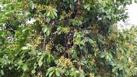 A meggy és a cseresznye tápanyag-utánpótlásának sajátosságai
