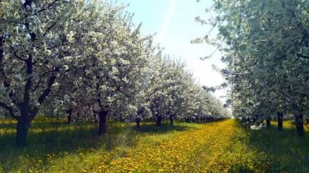 Cseresznye, meggy tavaszi növényvédelme