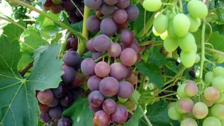 Már kapható a hazai csemegeszőlő