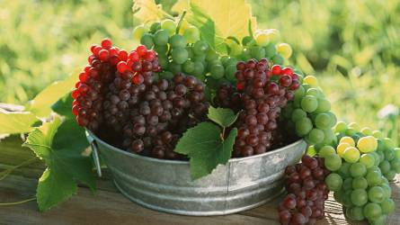 Megkezdte a szőlőültetvény szerkezetátalakítási támogatások kifizetését a Kincstár