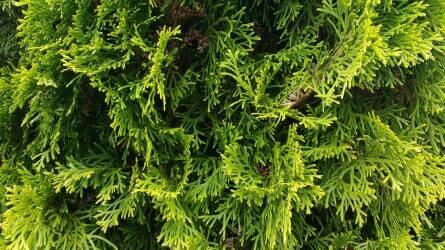 Örökké zölden – örökzöld növényeink gondozása és védelme hónapról hónapra II. rész
