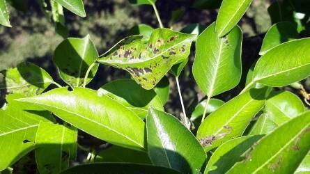 Mitől foltosodik a körtefa levele?