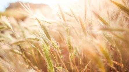 Egy új tenyészidőszak kezdetén: vetés előtt a búza