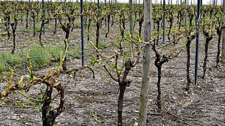 Bordeaux-ban volt már szüret: jég tarolta le az ültetvényeket