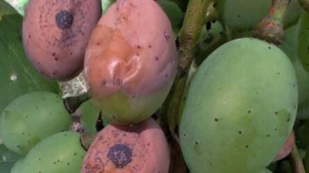 Mitől száradnak össze a bogyók a szőlőfürtükben?