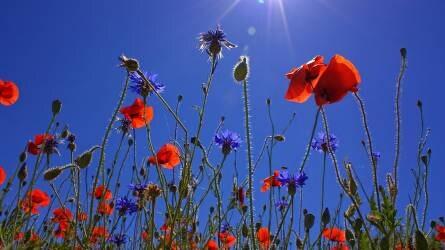 Búzavirág, búzavirág - kéklő búzavirág