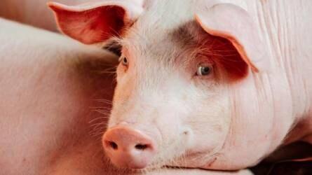 A sertéspestis idáig csak rövidtávú bizonytalanságot okozott az ágazatnak