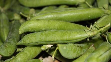 Nagy lehetőségek rejlenek a zöldborsótermesztésben