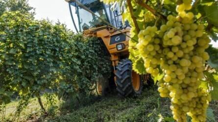 Szüret van! Balatoni szőlőből lesz Európa első újbora