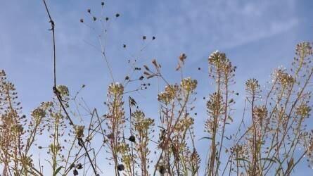 Ismerjük fel a gyomnövényeket már pár leveles korukban I. rész – T1-es életformájú gyomnövények