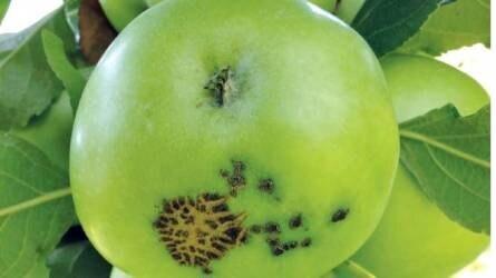 Szép lett volna az alma, de varasodik