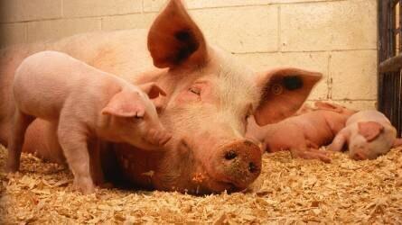 Tartsuk be az állatjóléti szabályokat a haszonállatoknál is!
