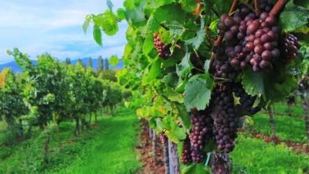 Kiemelt támogatásokat kap a hazai borágazat