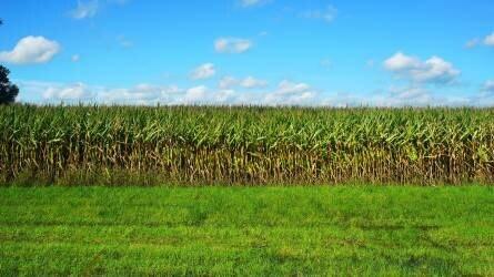 Kedvez az idő az aratóknak - kiváló a kukoricának, napraforgónak