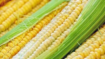 Hosszú távon nem várható a kukorica drágulása