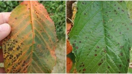 Sárgul a cseresznyefa levele, pedig még nincs ősz - mi lehet a baj?
