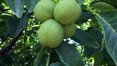Veszélyesen fertőzi az almamoly a dióültetvényeket