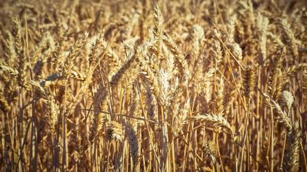 Terménypiac: több éves csúcson a búza jegyzése