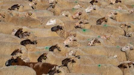 Törökország feloldotta a magyar szarvasmarha és juh bevitel korlátozását