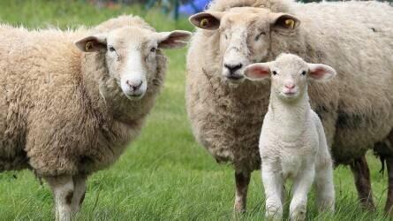 Nagy a verseny az állattenyésztési ágazatban is