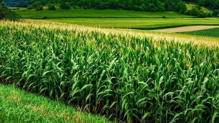 A kukorica az éghajlatváltozás tükrében