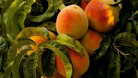 Mire van szüksége a gyümölcsfáknak telepítés előtt és után?