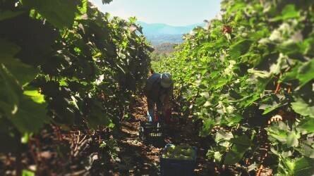 450 ezer tonna szőlőtermés várható idén