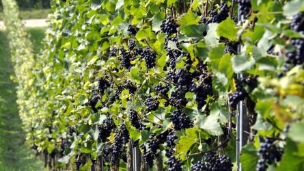 Drágábban vehetünk bort idén