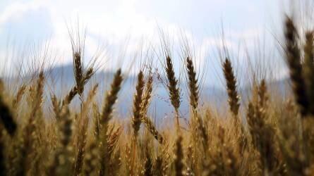Végeztek az őszi búza aratásával, 4,84 millió tonna termett az idén