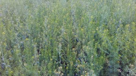 Ismerjük fel a gyomnövényeket már pár leveles korukban III. rész – T3-as életformájú gyomnövények