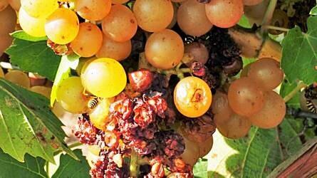 Hogyan előzzük meg a darázskárt a szőlőben?