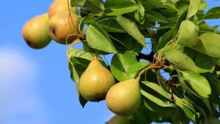 A meleg már a gyümölcsöket is megperzselheti