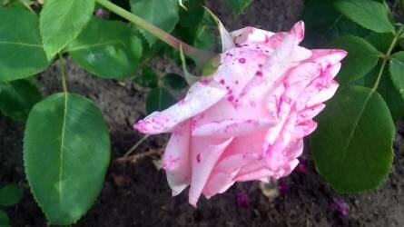 Miért foltosodnak a rózsa virágai?
