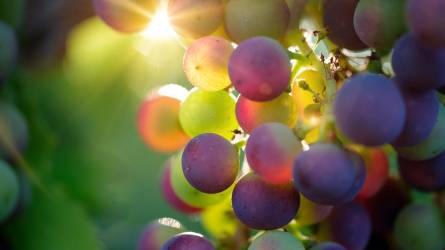 Kiugró minőségű az idei szőlő