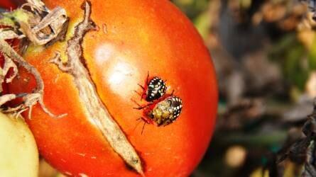 Növényvédelmi előrejelzés: a hőség a kártevőknek kedvez